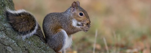 Close up of gray squirrel eating an acorn by a tree trunk
