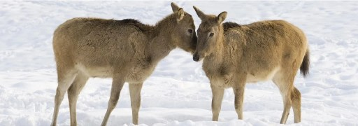 Two deers touch noses in the snow