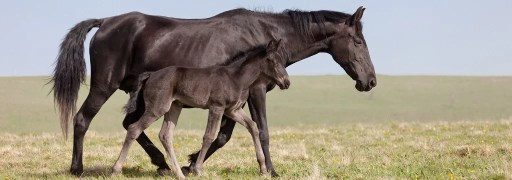 Black horse walks in field with her child