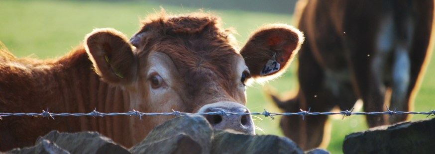 Close up of cow looking over barbed wire fence with a tag on its ear. Another cow grazes on the grass in the background.