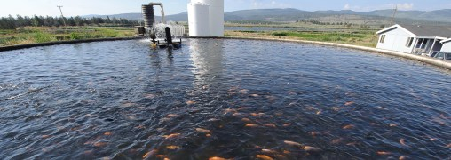 Dozens of fishes held in a small pool on a fish farm