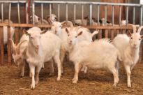 Goats standing in small barn