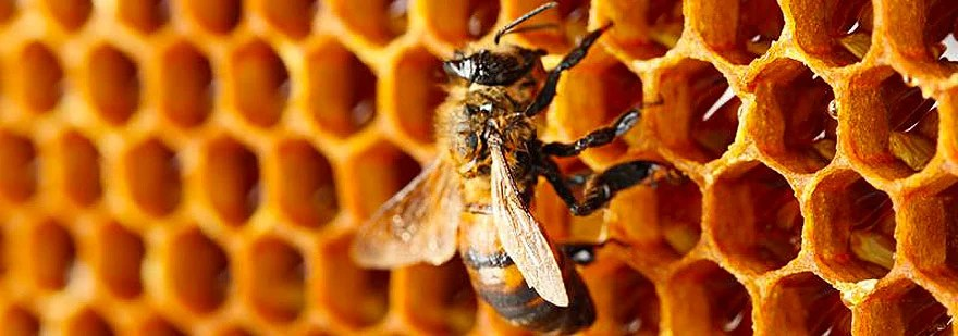 exploitation-of-bees