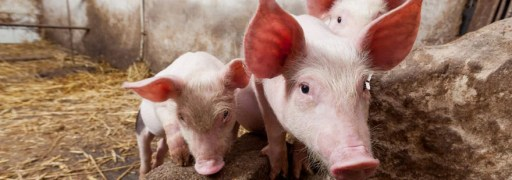 pigs-in-farms