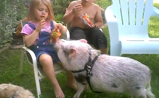 豚におやつを奪われてしまう女の子