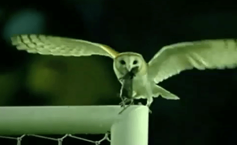 サッカーグラウンド フクロウ ネズミ 狩り