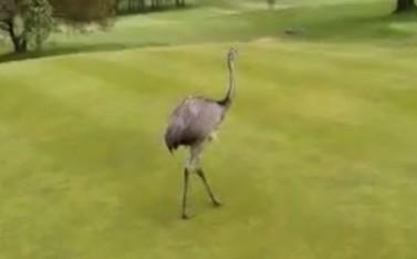 ゴルフ場にエミュー現れる