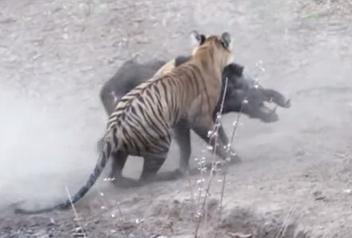 池に隠れるトラが、大きなイノシシに奇襲攻撃