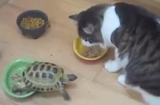 食事中のネコに忍び寄るカメの恐怖