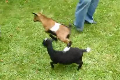 4匹のヤギの赤ちゃん、極端に元気な子が1匹