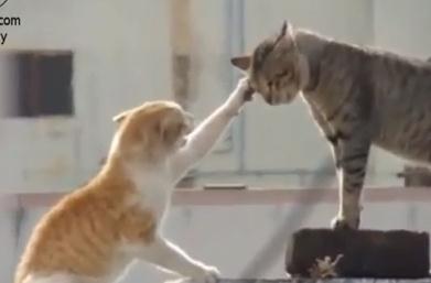 猫  vs. 猫 激しい唸り合い