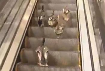 エスカレーターを逆走するカモの群れ