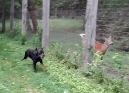 鹿と遊ぶロットワイラー