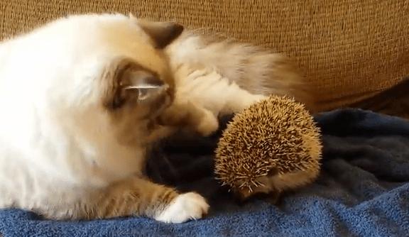 さすがの猫も、ハリネズミにはかなわない