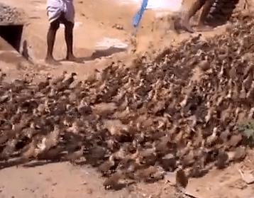 インドのアヒルの大移動