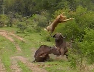 アフリカ水牛に突き上げられる雌ライオン