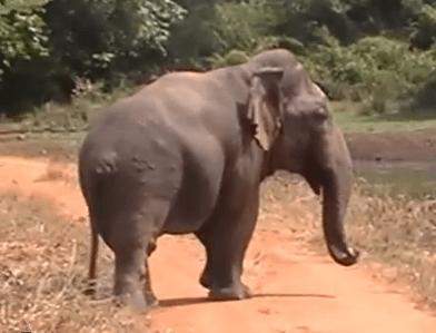 スリランカのウダワラウェでドワーフ象が発見される?