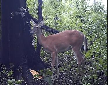 尻尾が持ち上がる程強烈な鹿のオナラ