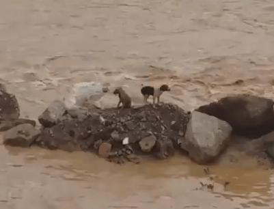 大雨で増水した川に取り残されたワンコの救助