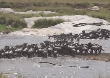 セレンゲティ国立公園のマラ川を渡るヌーの大群 2014年7月