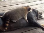 大型犬に猛アタックするアライグマ