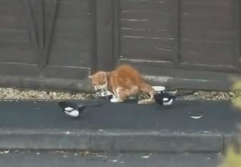 カササギに餌を盗まれる猫