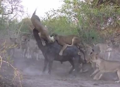 ライオンの群れ vs. 1頭のアフリカ水牛