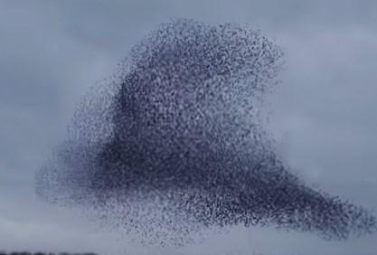 変幻自在の巨大な生き物のようなムクドリの大群