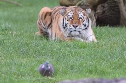 トラが背後からハトを襲う映像