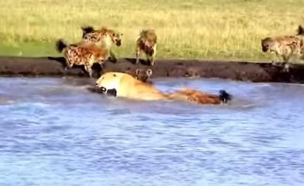 ハイエナの群れに襲われる雌ライオン