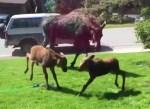 庭のスプリンクラーの周りで遊ぶヘラジカ家族