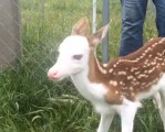 顔が真っ白の鹿が産まれる
