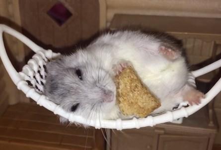 ハンモックに横たわって食事をとるハムスター