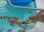 プールで泳ぐアライグマを心配そうに見守る兄弟