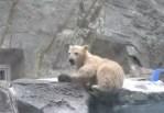 ホッキョクグマの赤ちゃんが水に転落、母親が助けに飛んで来た