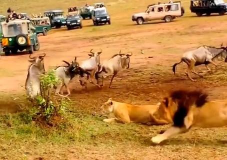 オスライオンが狩りのスキルが未熟な雌ライオンの前で見せる