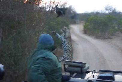 車から逃げるホロホロ鳥をヒョウがジャンピングアタック!