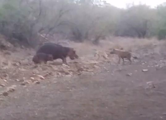 カバの赤ちゃんを襲うハイエナの群れ
