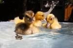 アヒルの雛が小さなプールで水遊び