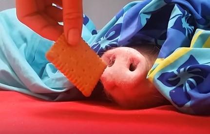 寝ている豚の鼻にクッキーを近づけると…