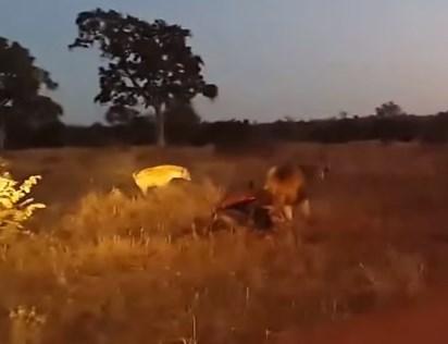 オスライオンの獲物を狙うハイエナの群れ