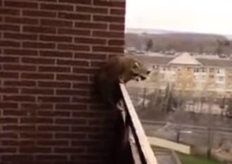 10階のバルコニーにいたアライグマが忍者のように脱出