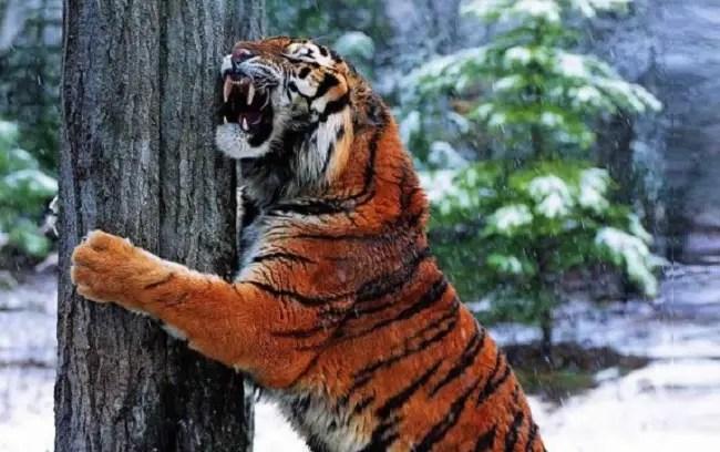Bengal Cat Hd Wallpaper Big Cat Facts Animal Facts Encyclopedia