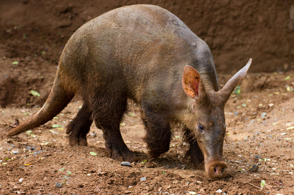 Cute Baby Pig Wallpaper Aardvark Facts Animal Facts Encyclopedia