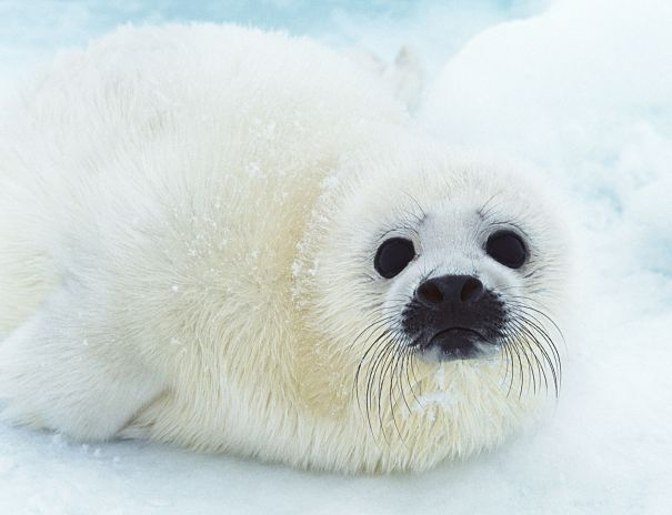 Cute Baby Feet Wallpaper Seal Facts Animal Facts Encyclopedia