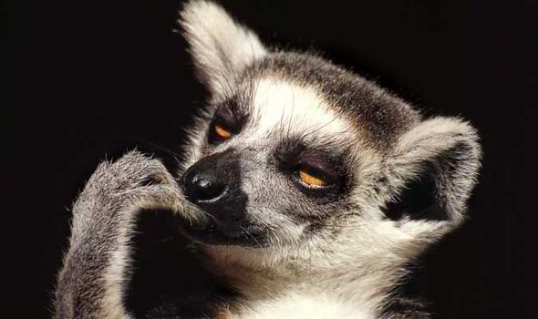 Cute Dental Wallpaper Lemur History And Some Interesting Facts
