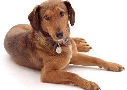 Brown mongrel dog, Tinker, lying down