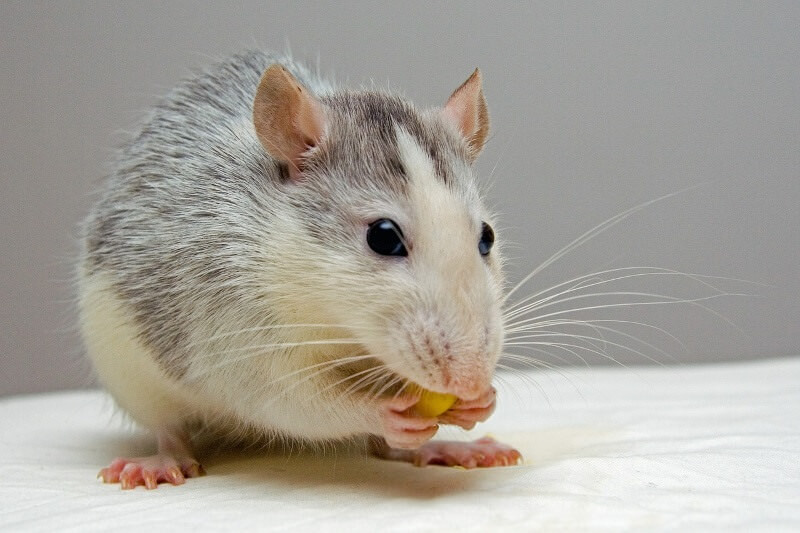 240 Pet Rat Names Funny, Cute, Male and Female Rat Name Ideas