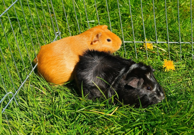 Cute Piggies Wallpaper 12 Ways To Make Your Guinea Pigs Happy A Guide To Pleased