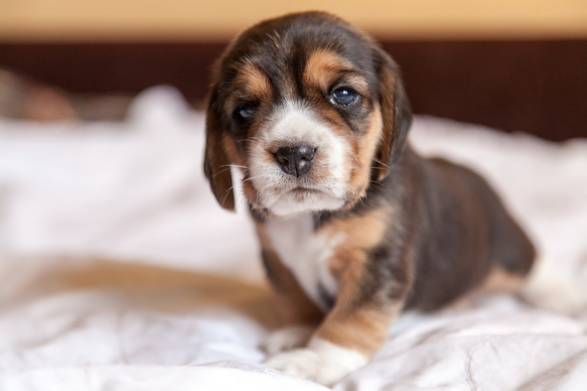 Cute Baby Wallpaper Full Hd 10 Fun Amp Interesting Facts About Beagles Animals Zone